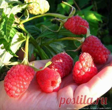 Всего три полезных правила помогут получить богатый урожай ягод.