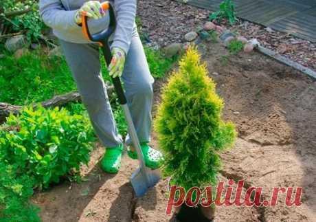 4 ошибки при посадке хвойных растений.