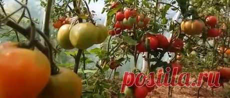 Нужен томатам полив или нет | Вкусняшка | Яндекс Дзен