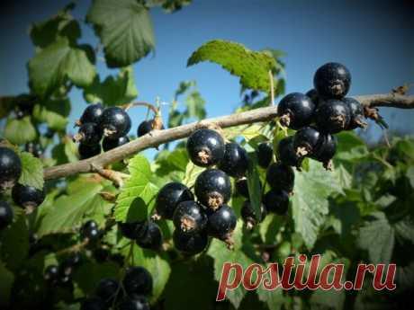Августовская подкормка смородины для большого урожая в следующем году | Идеи для дома и окружения | Яндекс Дзен