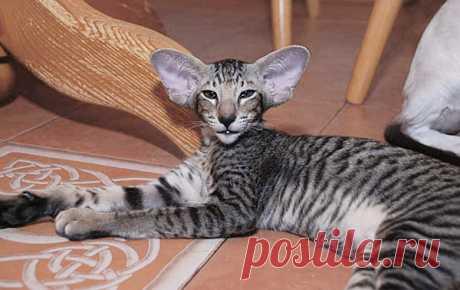 Zulo Capri Happy Jungle*RU  / Живой on-line справочник пород кошек