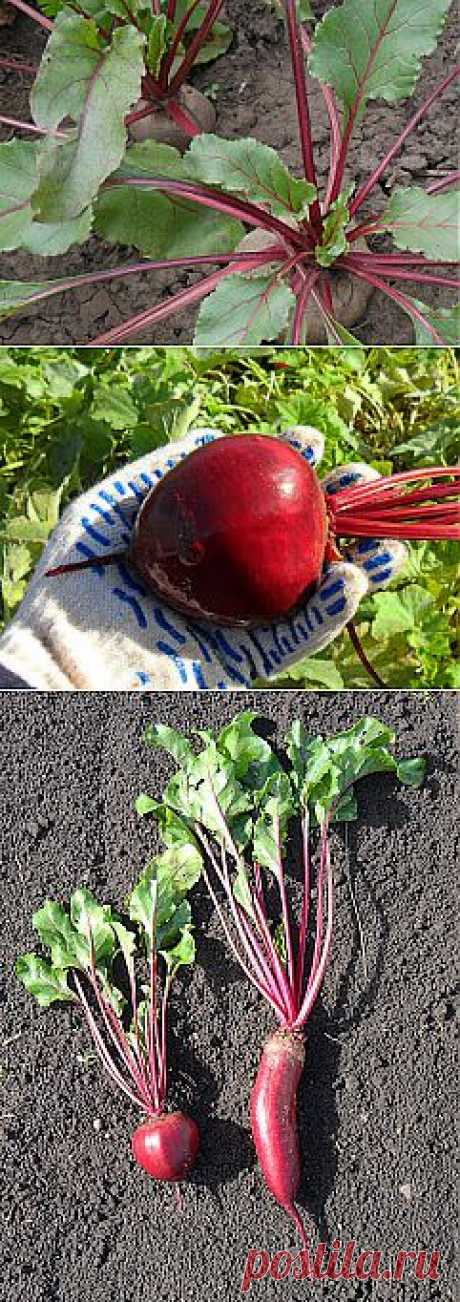 As I grow up beet. Practical experience.