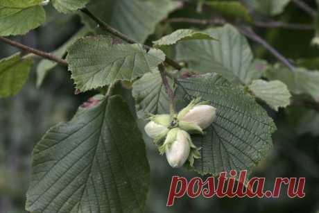 Лещина: выращивание дерева на собственном участке В плане посадки и выращивания лещина неприхотлива. При правильном уходе орешник порадует богатым урожаем даже начинающего садовода.
