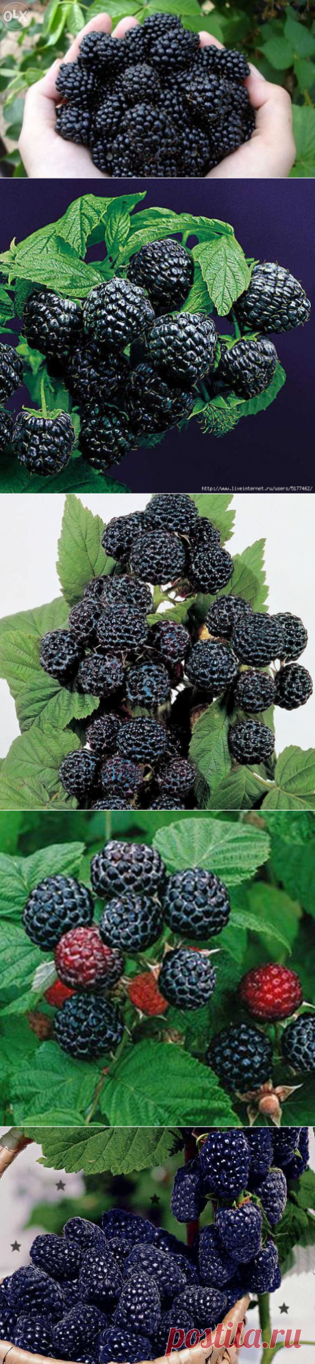 Как вырастить черную малину кумберленд — 6 соток