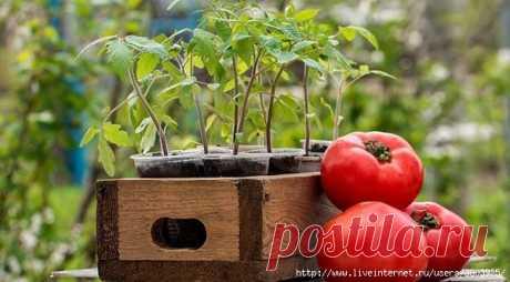 Как подготовить семена томатов к посеву. Интересный способ.