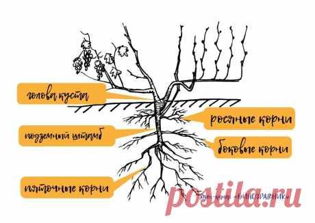 Строение виноградного куста. Что необходимо знать | ВИНОГРАДНИК | Яндекс Дзен