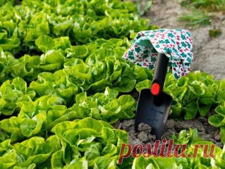 Как одно растение спасает целый урожай  Посейте любые зеленые удобрения, а лучше горчицу, за три недели до основной культуры и вы избавитесь от многих головных болей огорода. Болезни, сорняки и прочие вредители буквально исчезнут с грядок.…