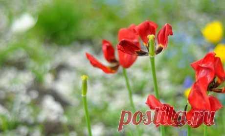 Что делать с тюльпанами после цветения | В цветнике (Огород.ru)