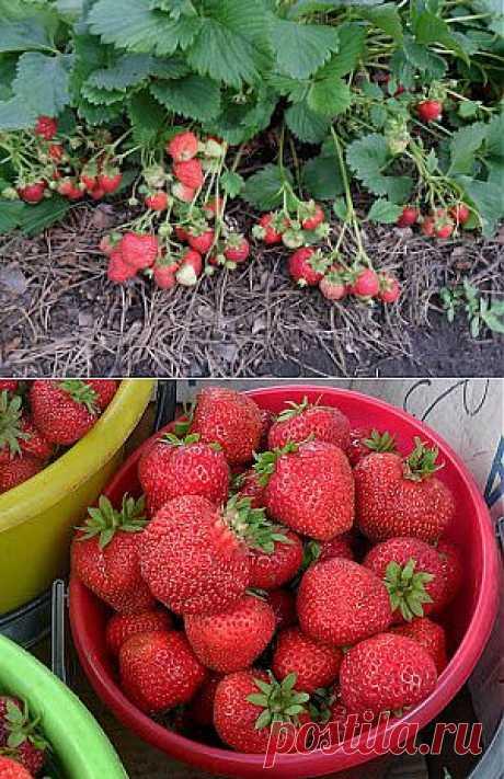 Вкусный Огород: Садоводы делятся опытом выращивания клубники