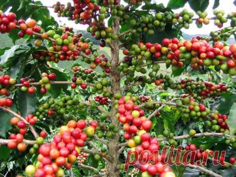 Как выращивают и производят кофе В этой статье мы рассмотрим, как выглядят кофейные деревья и их плоды, как собирают урожай кофе и способы его обработки. Также рассмотрим краткую историю возникновения кофе …