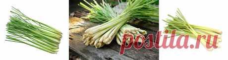 Лемонграсс выращивание в средней полосе