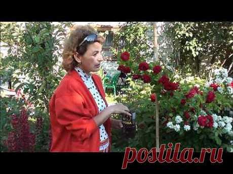 Размножение плетистой розы,клематиса,гортензии.Видеоурок..