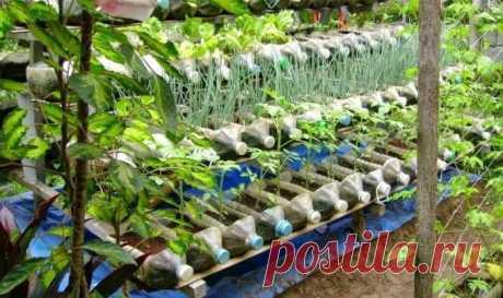 Овощи можно выращивать не на грядке, а в… бутылке. Пенсионер устроил шикарный огород на балконе