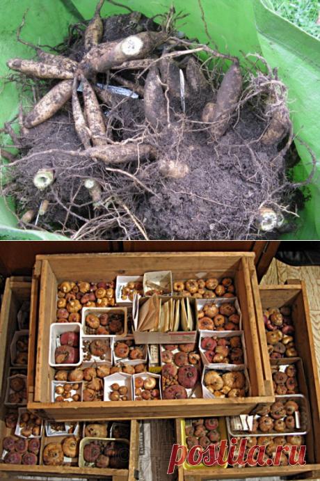 Хранение клубней георгинов и луковиц гладиолусов — 6 соток