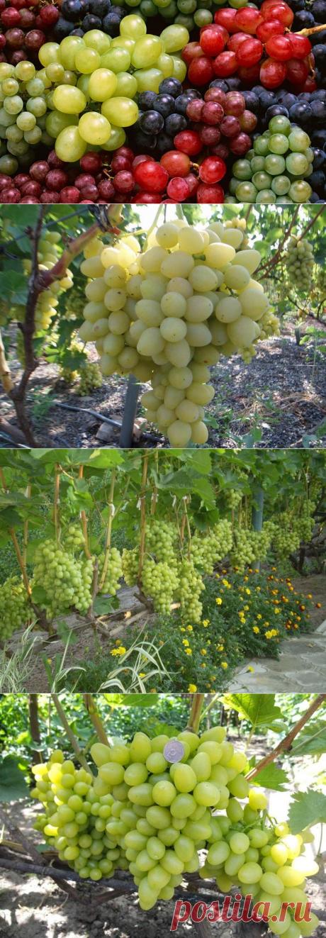 Сорта винограда для посадки на участке