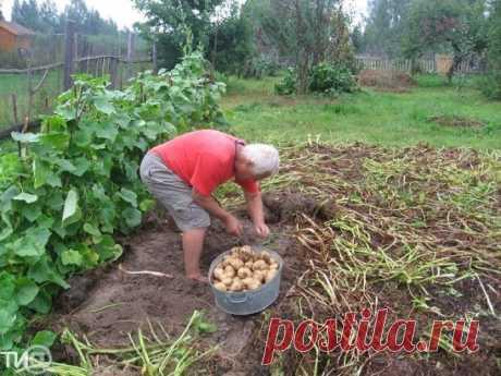 С 1 сотки 1 тонну картошки!