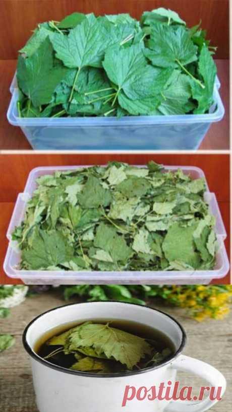 Ежегодно зaготавливаю смородиновые листья — это отличное лекарство для почек и суставов. Ни ревматизма, ни подагры не будет!