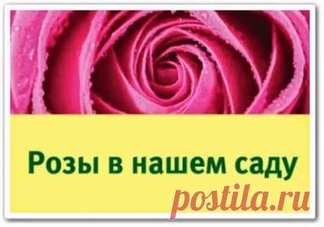 Розы в вашем саду (видео семинар)