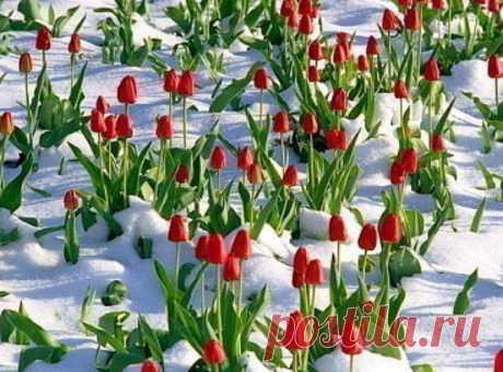 Порадуйте ваши тюльпаны! - запись пользователя HellyF (Olga) в сообществе Болталка в категории Сад и огород