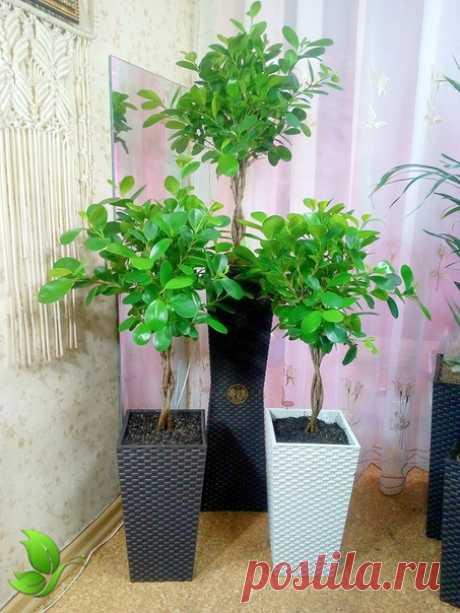 Высокое напольные комнатное растение Подробности вы можете посмотреть в описании к фото