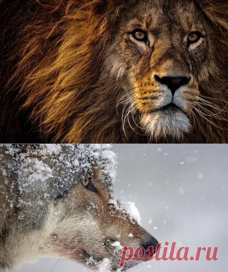 Дикие животные. Wild animals  Дикие животные — объекты животного мира, к которым относят животных, естественной средой обитания которых является дикая природа, а также находящиеся в состоянии естественной свободы, содержащиеся в полусвободных условиях или в неволе.