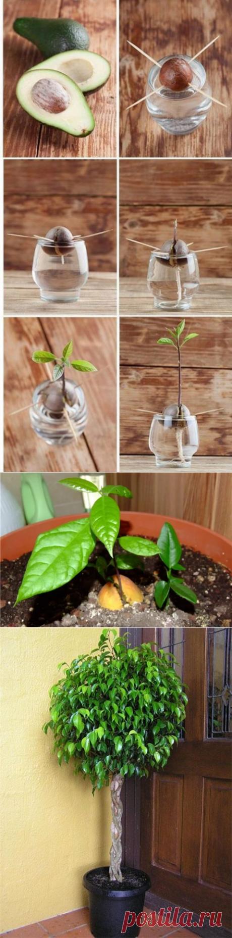 Как вырастить авокадо из косточки правильно, чтобы растение дало плоды
