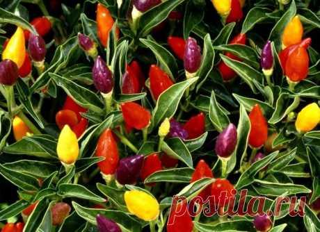 """Перец """"Огонек"""" на подоконнике: выращивание из семян и уход Перец """"Огонек"""" можно выращивать на подоконнике круглый год. Его можно использовать не только в качестве декоративного растения, но и как острую приправу."""