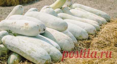 Бенинказа - восковая сладкая тыква, которая хранится 3 года! на Supersadovnik.ru