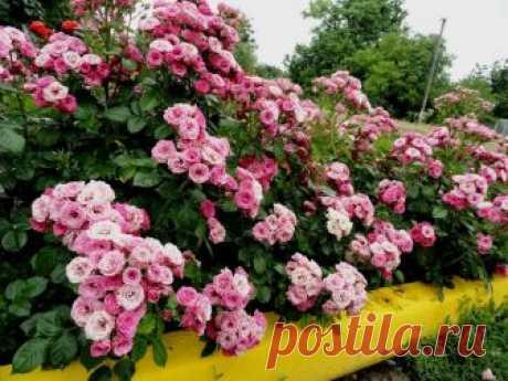 Как посадить бордюрную розу и ухаживать за ней?
