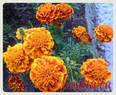 Бархатцы - цветы с магическими свойствами