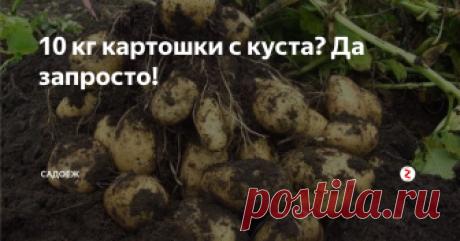10 кг картошки с куста? Да запросто! Я много лет шла к этому идеальному рецепту выращивания картофеля. Мой секрет в...