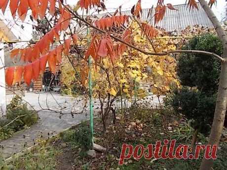 В палисаднике по доброму соседствуют и самшит, и виноград, и уксусное дерево...