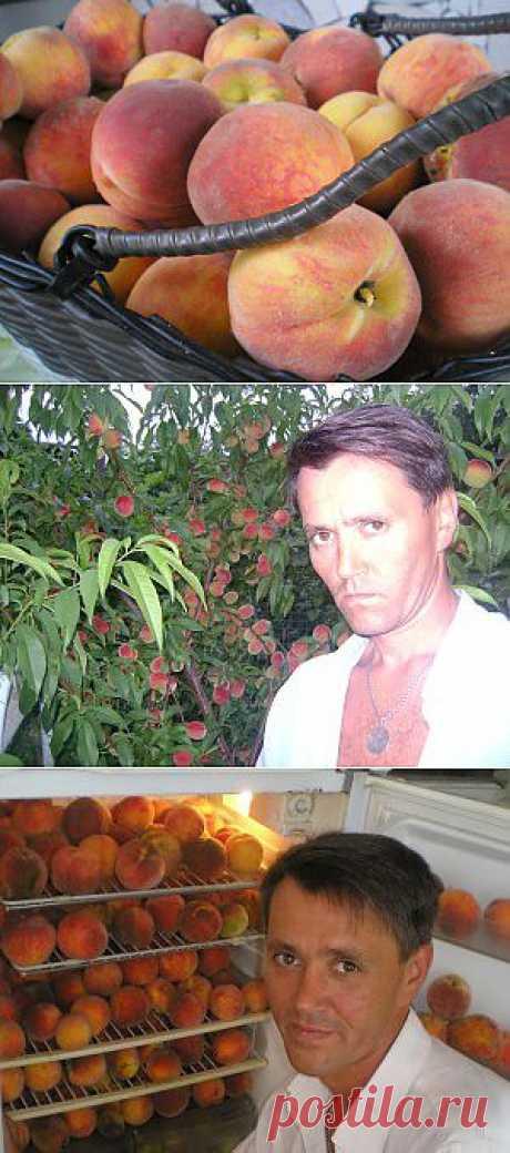 Обрезка Персика, Или Стрижка Под Ёжика!  Не могу не поделиться опытом в выращивании персика, главной хитростью для хороших урожаев считаю — правильную и своевременную обрезку!  Благодаря правильной обрезке из года в год  имею хорошие урожаи персиков, смотрите ниже.