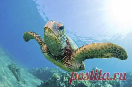 Черепахи Бисса широко распространены в морях, расположенных в тропической и субтропической природных зонах.  Как правило, особенно часто этих рептилий можно встретить вблизи Мальдивских островов, Шри-Ланки, в Карибском море. Также черепахи Бисса обитают в Атлантике у берегов США и Южной Америки, в Красном, Австралийском, Японском и Китайском морях, недалеко от Зондских островов и в прибрежных водах Ост-Индии.