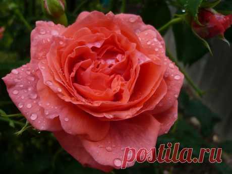 Розы в капельках