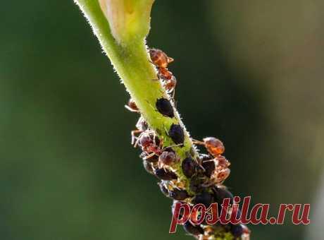 """Беспокоит тля: методы избавления от надоедливого насекомого   Журнал """"JK"""" Джей Кей Весна и лето – время, когда тля появляется в огороде. Эти насекомые размножаются в кратчайшие сроки, отличаются особой прожорливостью. Вредители"""