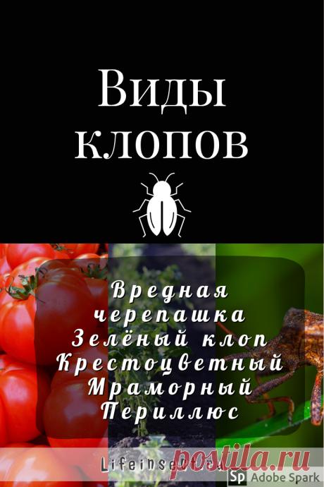 Как бороться с клопами на помидорах  На вопросы огородников о том, что делать, если массово появились клопы на помидорах, как бороться с вредителями и насколько они опасны, существуют достаточно успокаивающие ответы. Нашествие клопов на кусты томатов – явление временное, и слишком большого вреда насекомые причинить не могут.