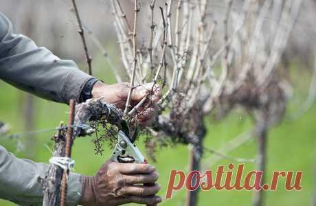 Обрезка винограда — самый правильный путь к увеличению плодоношения Обрезка винограда — это удаление части побегов и веток. К ней нужно относиться ответственно, осторожно, осмысленно. Она — один из главных факторов, определяющих продуктивность плодоношения, прирост пл...