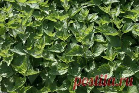 Дюжина травяных чаев помогающих похудеть