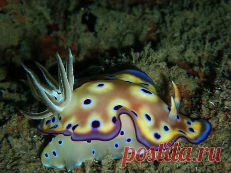 P7101902 Nacktschnecke, Chromodoris kunei, Prince John Dive Resort,  ( Donggala, Zentral-Sulawesi, Indonesien )