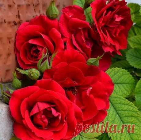 Лучший сорт плетистых роз которому не страшен суровый мороз и оттепель   Моя успешная дача   Яндекс Дзен