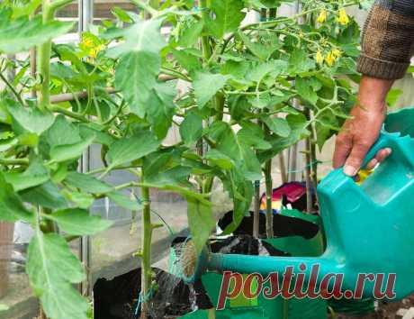 Универсальная подкормка, которая подарит хороший урожай томатов - ДОСТОЙНАЯ ЖИЗНЬ НА ПЕНСИИ - медиаплатформа МирТесен