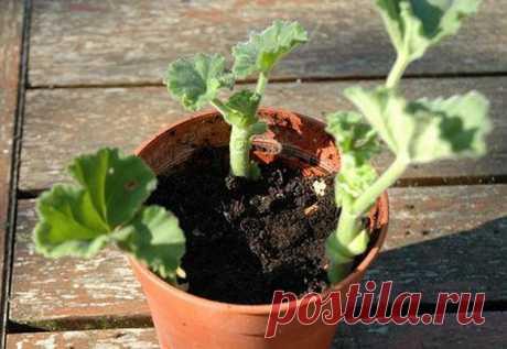 Основные правила выращивания пеларгонии из семян и проведение первой пикировки