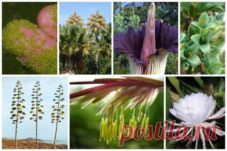 Solamente la vez en la vida (13 fotos) | el Diablo toma la Naturaleza dejará de asombrar nunca, especialmente cuando el asunto toca algo de tal que hay una vez en la vida del ser vivo creado por la naturaleza Hoy nosotros contaremos de las plantas. Las plantas Monokarpichesky — las planta, que se multiplican (florecen o fructifican) sólo una vez durante la vida. En el botánico para monokarpicheskih de las plantas se usan también los términos en realidad sinónimos «las plantas monofecundas», o monokarpiki Konechn...