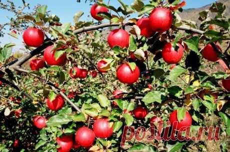 Как лечить паршу яблони правильно