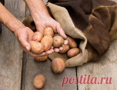 Как хранить картофель на посадку зимой | Собирай урожай | Яндекс Дзен