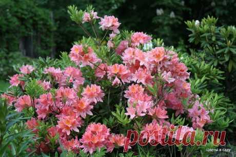 Семь простых правил, чтобы рододендроны в саду радовали пышным цветением | Цветы в саду | Яндекс Дзен