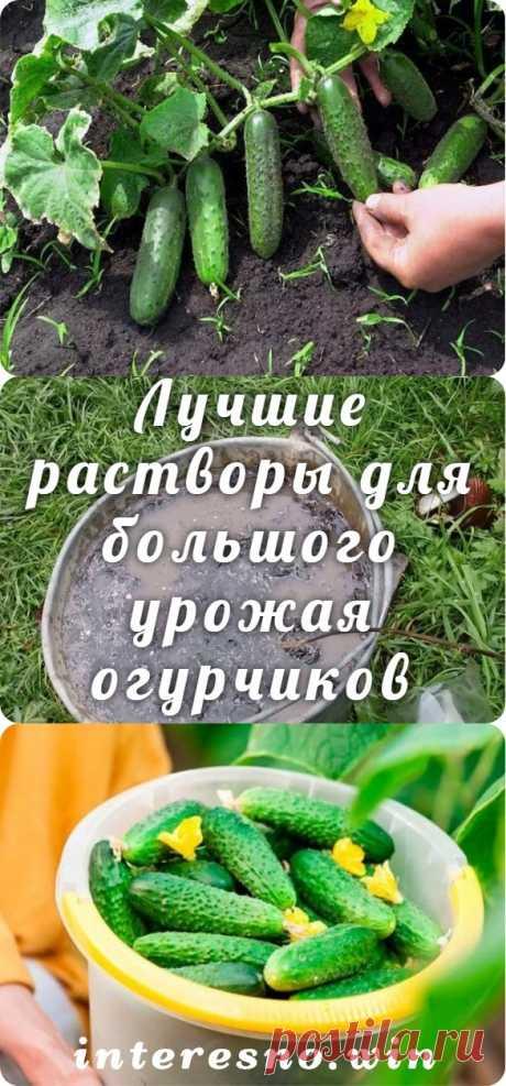 Лучшие растворы для большого урожая огурчиков - Интересный блог