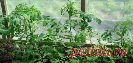 Знакомый агроном объяснил почему у томатов скручиваются листья,и почему это опасно для урожая.Оказалось исправить легко и просто | Сосед по огороду | Яндекс Дзен