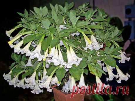 Выращивание бругмансии в открытом грунте: описание и сорта растения, методы размножения, посадка и уход